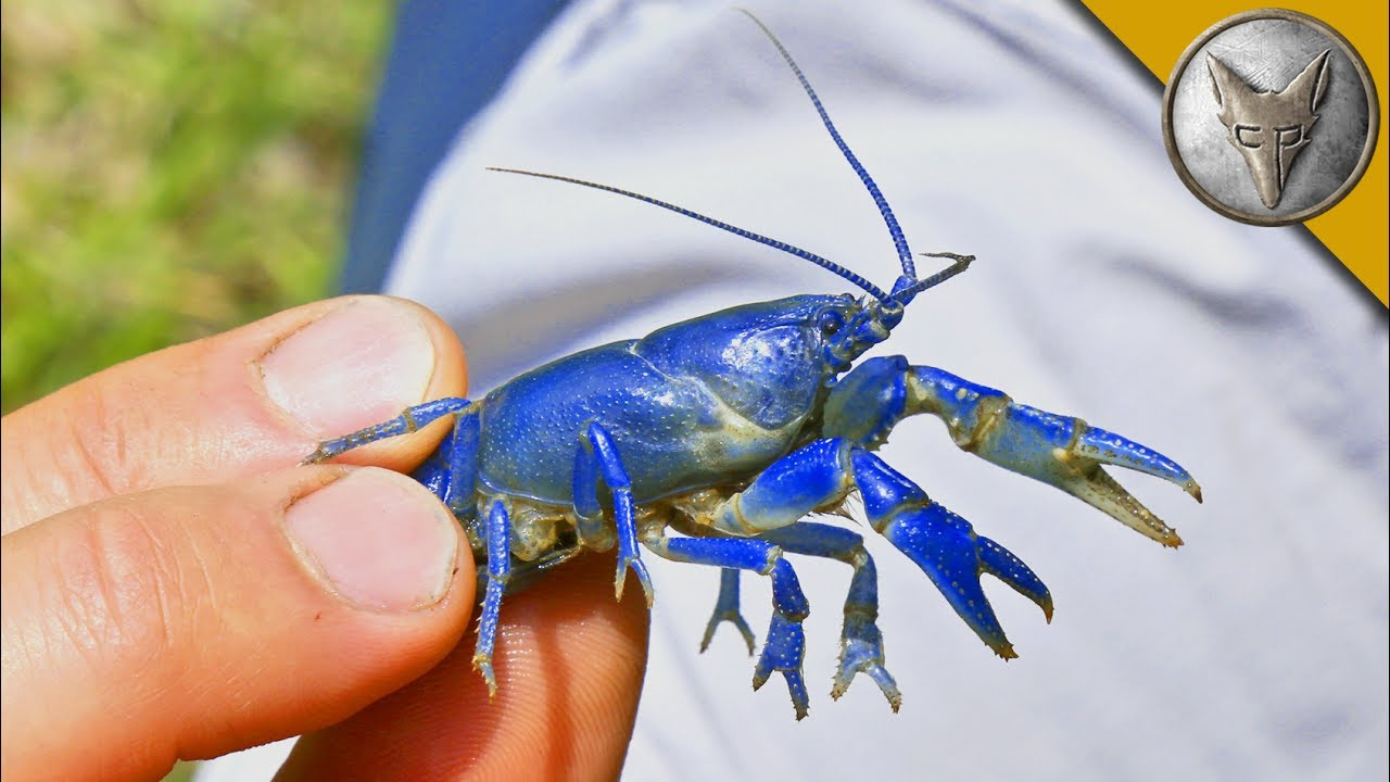 NEW SPECIES FOUND?! Rare Blue Crayfish! - YouTube