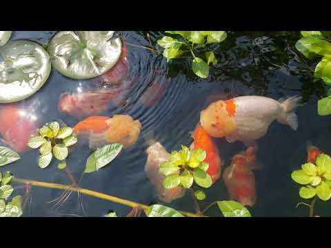 Planted Goldfish Pond