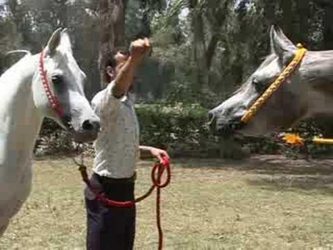 The legendary Arabian horse is Egypt's pride