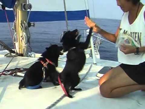 Sailing Schipperkes - Zenne & Zwetke the sailors
