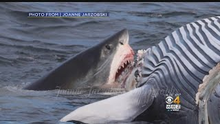 PHOTOS: Great White Shark Eats Whale In Cape Cod Bay