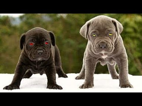 American Bandog Puppies Full And