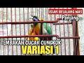 Cungkok Super Gacor Tembakan Belalang Emas Istimewa Milik Om Teguh Utomo  Mp3 - Mp4 Download