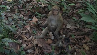 King Kidnapper Monkey Kidnapped Other Cute Baby Monkey Daily Monkeys Man 111