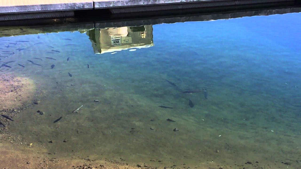 Diamond valley lake stripers stalking rainbow trout youtube for Diamond lake fishing report