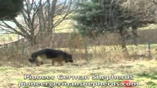 Pioneer German Shepherds In Aspers, Pa