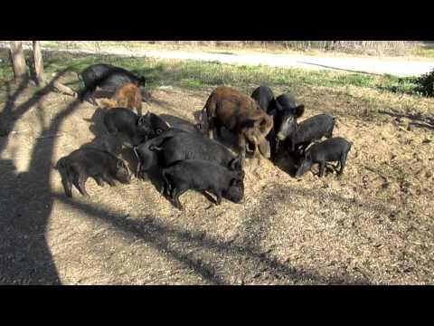 calling the wild pigs