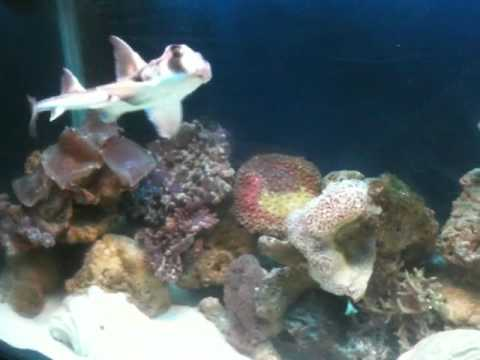 Pet shark at home flying around the tank youtube for Mini shark fish