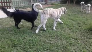 Kampf- Listenhunde im Einsatz.  Meine Wachhunde müssen gut sozialisiert sein