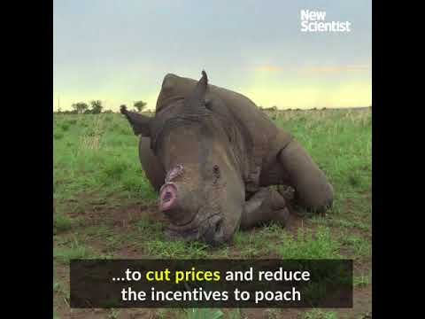 A legal trade in rhino horn could be twice as big as illegal one