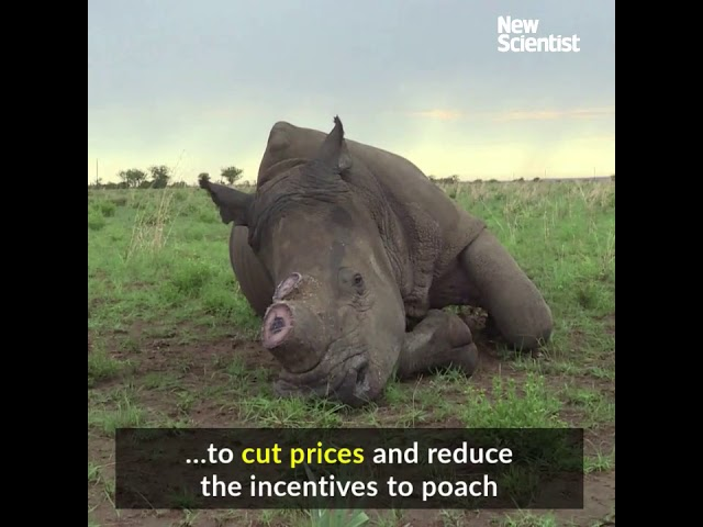 A legal trade in rhino horn could be