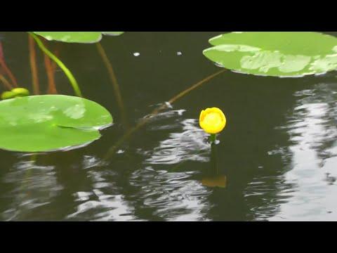 кувшинка желтая