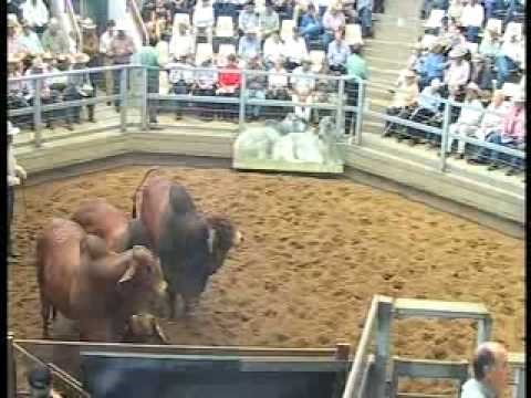 ROCKHAMPTON BRAHMAN WEEK 2008 LIVE WEBCAST LOT351
