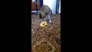 КОШКА VS ЦВЕТОЧЕК (Кошка, Котики, Самое интересное видео)