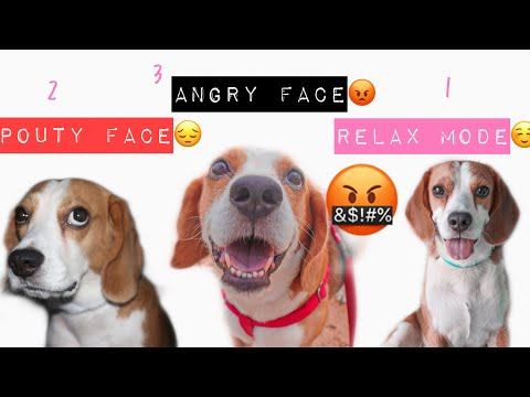 Beagle Face and Sound can make when asking FOODS   Funny Reaction Beagle Dog