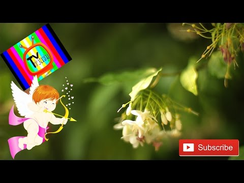 ดอกไม้ไทย ต้นโมก ดอกสวย ดอกหอม