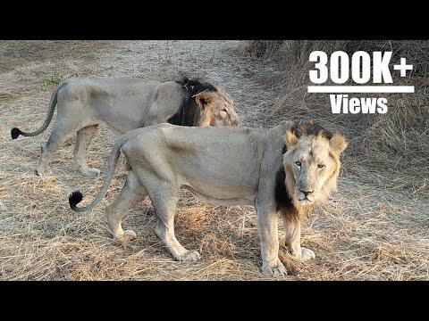Asiatic Lion - Sasan Gir | INDIA