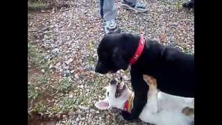 Pitbull Mix Labrador Vs Bull Terrier