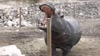 Кормление бегемота в сафари-парке Айтана.