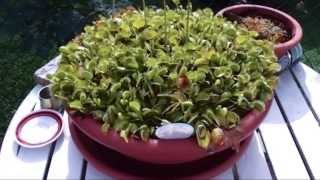 My venus flytrap (Dionaea Muscipula) incredible growth!
