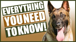 BELGIAN MALINOIS 101! Everything You Need To Know About the Belgian Malinois!