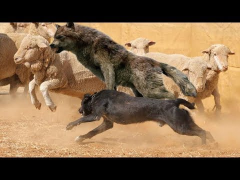 Top 10 Herding Dog Breeds