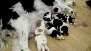 Cavalier King Charles Spaniel Puppies Feeding Time