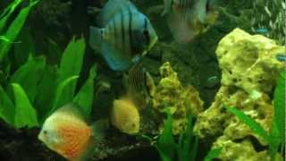 discus tank - cloudy eyes. fluval profile 1000