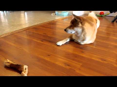 Shiba Inu practices STAY command (wait for treat)