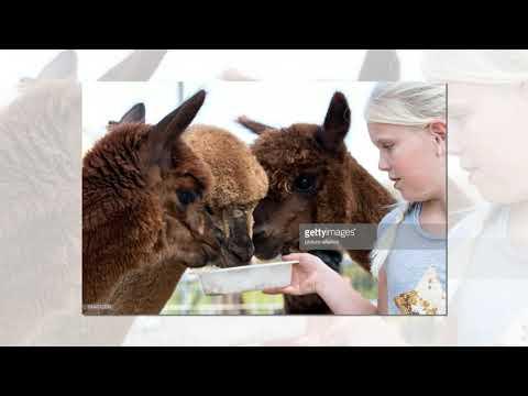 7-reasons-alpacas-make-great-pets