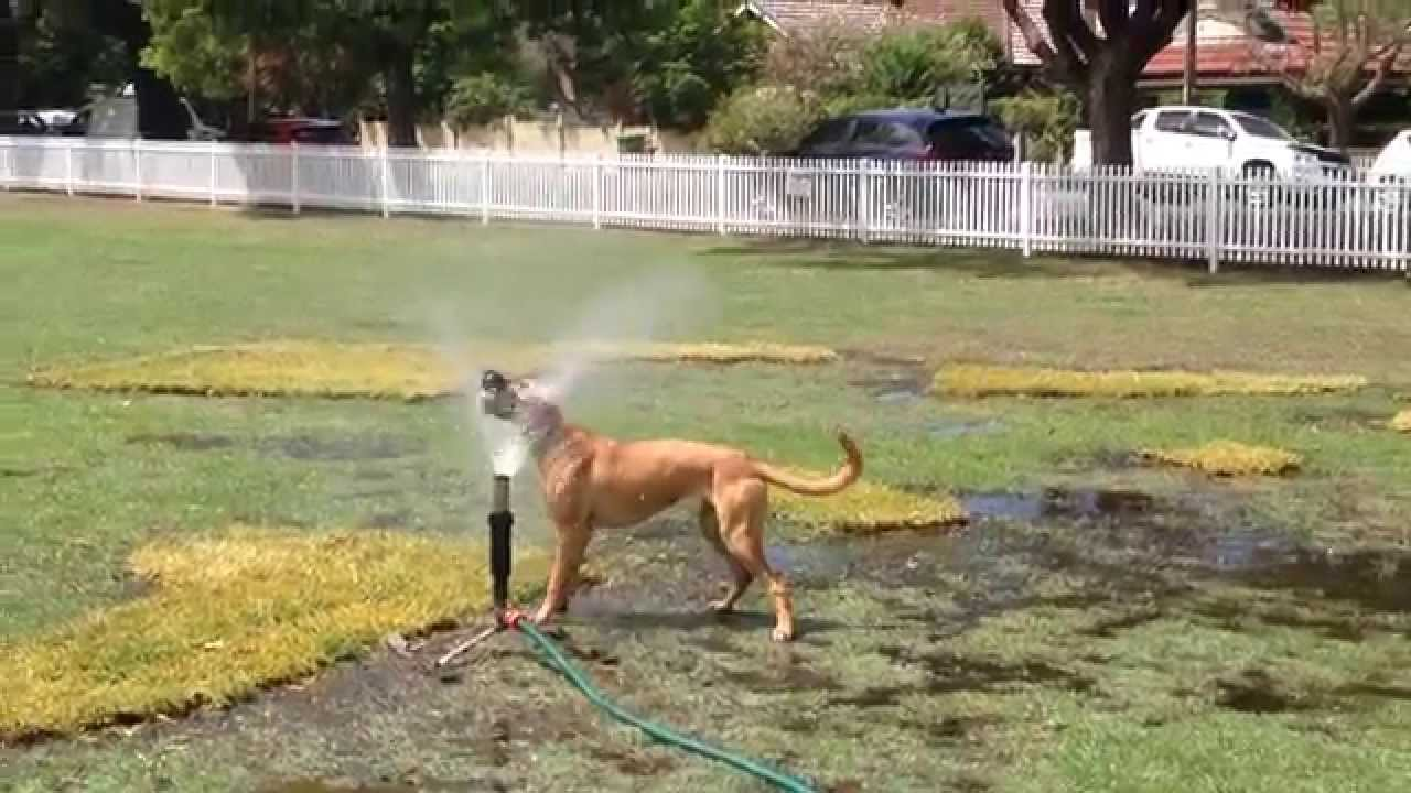 thirsty dog enjoying a drink from sprinkler at park youtube