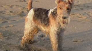 Wire Fox Terrier nana on the beach ワイヤーフォックステリア nana の...
