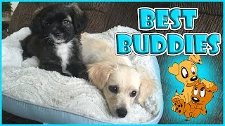 our puppies become best friends   we are the davises
