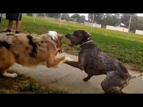 German Shorthaired Pointer Gets Angry After Wiping Out At Dog Park