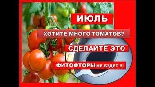 Хотите большой урожай томатов? Срочно сделайте такую подкормку помидоров в июле. Фитофторы не будет