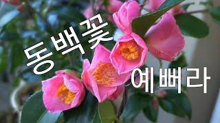 [환희사랑VLOG]동백꽃 구경오세요(주부TV)베란다정원…