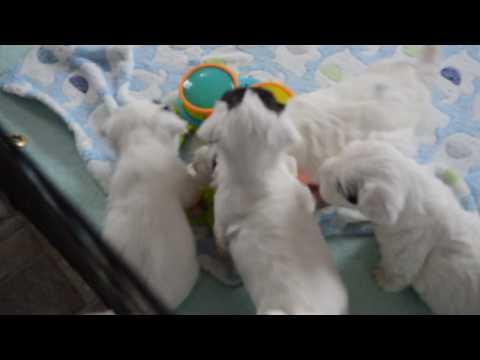 raindancer sealyham terriers 5 mos