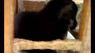 chien berger allemand 2