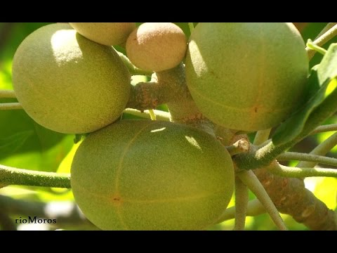 Hojas y frutos del árbol candil: Aleurites moluccana (www.riomoros.com)