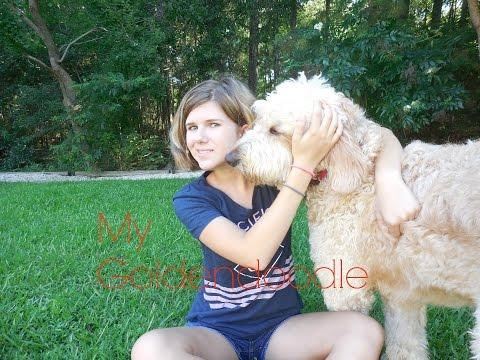 Meet My Goldendoodle