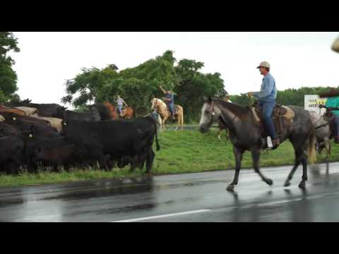 Cattle Drive-Historic Brazos River Flooding