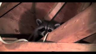 Raccoon Rabies Scare in Attic NJ 732-309-4209