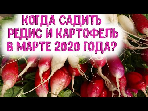 Когда сажать редис, картофель в марте 2020 года? Выбираем самые лучшие дни для посева корнеплодных | календарь | горяченко | посевной | гороскоп | март_2020 | лунный | раиса | года | на | н