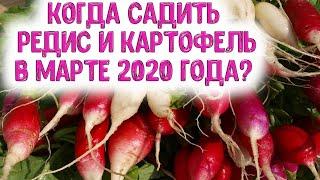 Когда сажать редис, картофель в марте 2020 года? Выбираем самые лучшие дни для посева корнеплодных