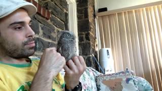 Owlbert - My pet Screech Owl