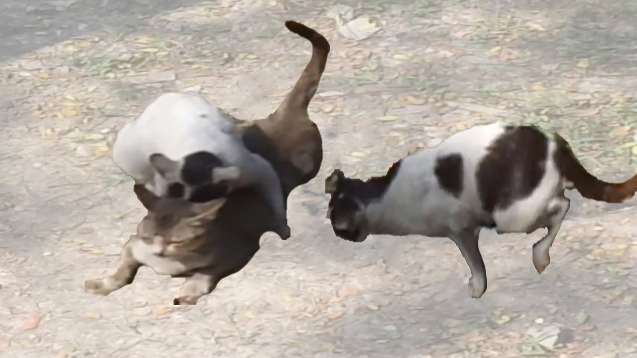 3 Cats Fighting For Mating 2 Male  1 Female Cat - Youtube-4856