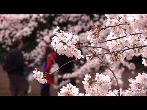 Japanese beautiful flower scenery Shinjuku Gyoen 's cherry blossom in Tokyo Prefecture