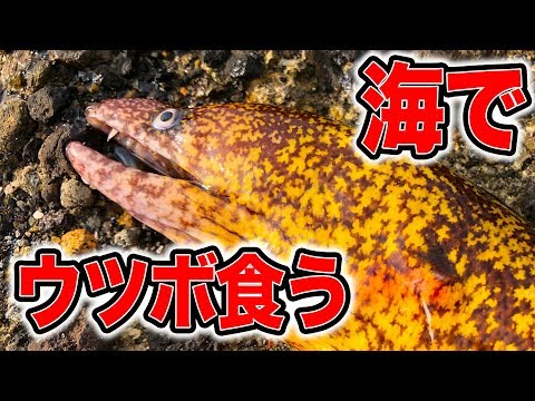 【危険生物】生きてるウツボを捕獲してさばいて食う!!
