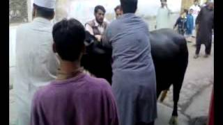 Video Malik`s cow qurbani peshawar download MP3, 3GP, MP4, WEBM, AVI, FLV Agustus 2018