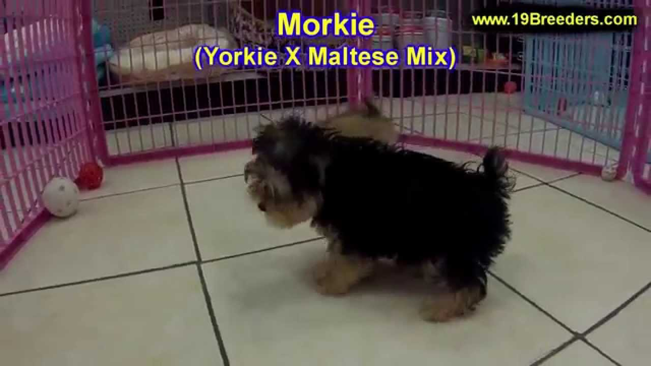 Morkie Puppies For Sale In Des Moines Iowa Ia Bettendorf